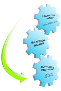 Alergija je pretjerana imunološka reakcija antigena i antitijela